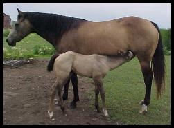 AQHA~Ericas Dream Girl (is a daughter of Quincy Rollin ...
